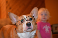 Corgi dog wearing reading glasses with toddler in background Stock Photo