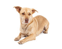 Corgi en Chihuahua-Kruising het Leggen Royalty-vrije Stock Foto