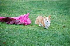 Corgi Exits Chute. Purebred Pembroke Welsh Corgi exits a closed tunnel (aka chute) while running on an agility course Royalty Free Stock Images