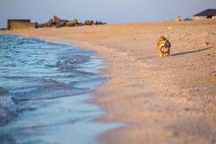 Corgi flaumig in dem Meer lizenzfreie stockfotos