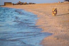 Corgi flaumig in dem Meer lizenzfreie stockbilder