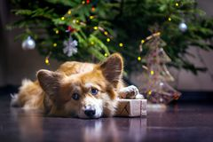 Corgi fluffy dog. Christmas. very beautiful corgi fluffy dog with gift on the background of the Christmas tree royalty free stock images