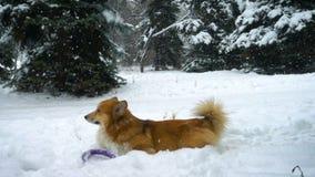 Corgi fluffy dog lying on a snow near fir trees during snowfall slow motion video stock video