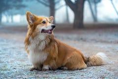 Corgi fluffy dog Stock Photos