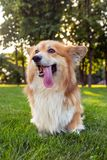 Corgi fluffy portrait. Corgi fluffy close up portrait at the outdoor royalty free stock photo