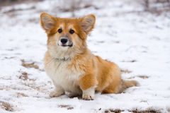Corgi fluffy puppy portrait Royalty Free Stock Image