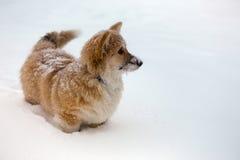 Corgi fluffy puppy portrait Stock Images