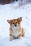 Corgi fluffy puppy portrait Stock Photo