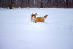 Corgi fluffy puppy portrait Royalty Free Stock Image