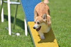 Corgi Galés del Pembroke en un ensayo de la agilidad del perro Foto de archivo libre de regalías