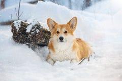 Corgi Galés en nieve Fotografía de archivo