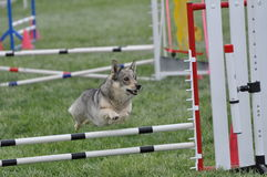 Corgi Jumping Agility Bars Stock Images