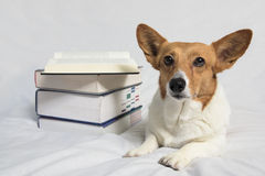 Corgi laying next to open textbook Stock Photo