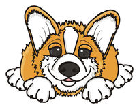Corgi lies and smiles. Puppy Pembroke Welsh Corgi lies on her stomach and watch Stock Images