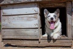 Corgi na casa de cão velha Fotos de Stock Royalty Free