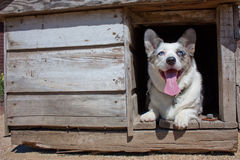 Corgi in old dog house Royalty Free Stock Photos