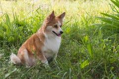 Corgi psa traken w trawie Fotografia Royalty Free