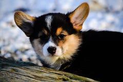 Corgi pup Stock Images