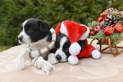 Corgi puppies dogs in santa clothes Royalty Free Stock Images