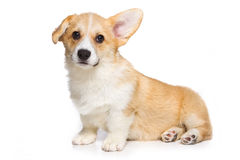 Corgi puppy Royalty Free Stock Photo