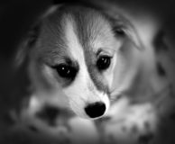 Corgi puppy. Cardigan Welsh Corgi with a blurred background Stock Photography