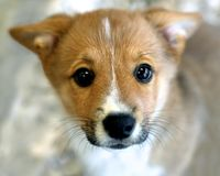 Corgi puppy. Cardigan Welsh Corgi with a blurred background Royalty Free Stock Photography