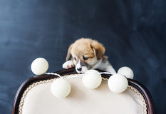 Corgi puppy with balls looks out because of a chair back on black background Stock Photography