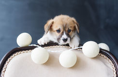 Corgi puppy with balls looks out because of a chair back on black background Stock Photos