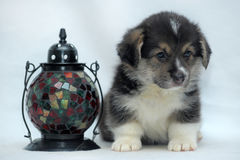 Corgi puppy and beautiful color flashlight-candle Stock Photography