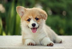 Happy puppy Corgi is resting and smiling stock photos