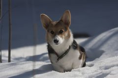 Corgi puppy. Cute little corgi puppy in snow Stock Photography