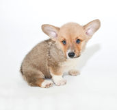 Corgi Puppy Royalty Free Stock Images