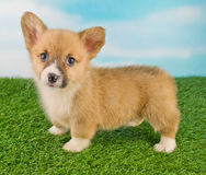 Corgi Puppy Stock Photography