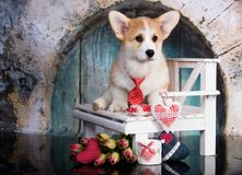 Corgi puppy and flower stock photo