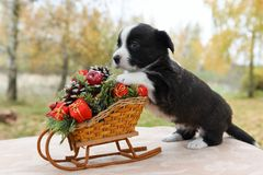 Corgi puppy with New Year sled with gifts on Christmas. Funny welsh corgi pembroke puppy with New Year sled with gifts on Christmas Stock Image