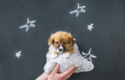 Corgi puppy and pillow in owner`s hand. Closeup stock images