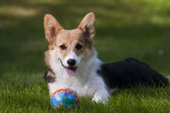 Corgi puppy. Small welsh corgi puppy with ball Royalty Free Stock Images