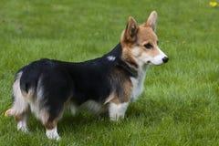 Corgi puppy Stock Images