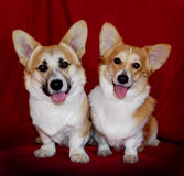 Corgi Royalty Free Stock Image