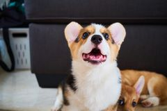 A corgi respons to you sir. A corgi is waiting for you to command, with another one is chilling royalty free stock photos