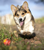 Corgi running after a ball Royalty Free Stock Images