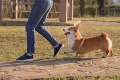 Corgi runs owner. Corgi runs behind the mistress of the happiness lawn sun shines Stock Image