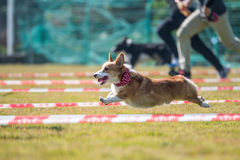 Corgi runs in the grass. Outdoor shooting Royalty Free Stock Image