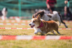 Corgi runs in the grass. Outdoor shooting Stock Photo