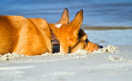 Corgi in the sand Stock Images