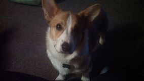 Corgi in shadow stock images