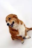 Corgi sitting Stock Images