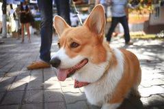 Corgi small dog Royalty Free Stock Photography