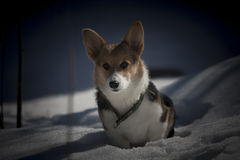 Corgi in snow. A corgi puppy sitting in snow Royalty Free Stock Photography