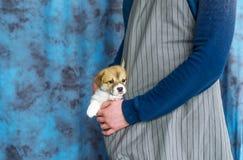 Corgi szczeniaka pies siedzi fartuch kieszeń obrazy royalty free